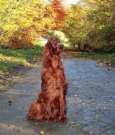 Marita Bott's Sh.ch Bardonhill ginger-whinger. My setters dad. Love this autumnal pic ).