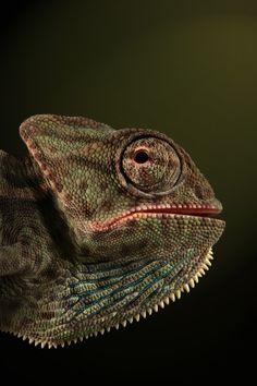 My youngest Veiled (Chamaeleo calyptratus) by Igor Siwanowicz