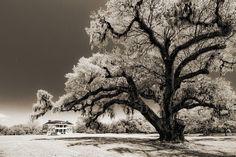 Historic trees | Historic Drayton Hall In Charleston South Carolina Live Oak Tree ...