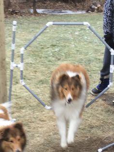 Sheltie jumping through a hoop Agility Training, Sheltie, Corgi, Hoop, Animals, Corgis, Animales, Animaux, Animal