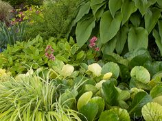 Lemon and Lime - a Delicious Green Smoothie.  Bergenia hybrid ,Hakonechloa macra 'Aureola') and in the middle of the photo a Gilt Edge toad lily (Tricyrtis sp.) with a narrow gold margin. The bold foliage of a green hosta also helps to tone things down.  Beyond the immediate group a soft fern adds a feathery texture to the mix while the golden leaves of Goldheart bleeding heart (Dicentra spectabilis) add sparkle, their pink dangling heart-shaped flowers repeating the color in the foreground.