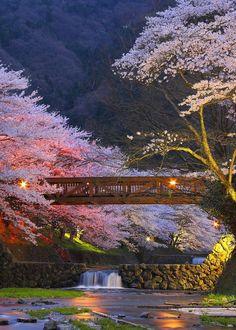 "travis-caulfield: "" Cherry blossoms in Kyoto, Japan. """