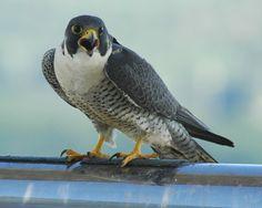Peregrine falcons in downtown Atlanta!