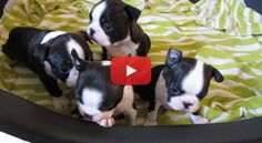4 Beautiful Boston Terrier Babies!  Watch them ► http://www.bterrier.com/?p=19009