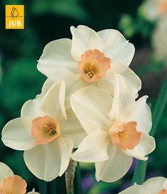 Narcissus 'Bellsong'