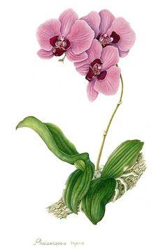 Immagine di http://www.ljplus.ru/img4/k/o/kozzza_botanic/Watts-Li-1.jpg.