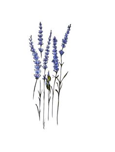 botanical drawings of lavender.