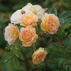 Ghislaine de Féligonde  David Austin Recommended Variety Rambler Roses  Double/Full Bloom  Hardy  Fragrance Medium   Repeating Good  The flowers vary greatly in colour. Orange buds open to small apricot blooms with a yellow base, then fade to peach, pink and white. In autumn the flowers tend to be more pink. There is a sweet, musky fragrance.  not too vigorous. It repeat flowers, although not as well as some modern varieties. An almost THORNLESS v healthy variety. 10ft.