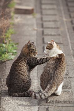 Cat love or cat fight I Love Cats, Crazy Cats, Cute Cats, Funny Cats, Animals And Pets, Funny Animals, Cute Animals, Beautiful Cats, Animals Beautiful