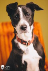 Franklin is an adoptable Border Collie/ Greyhound in Portland, OR.