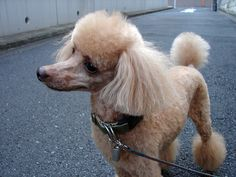 """chewie"" toy poodle"