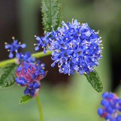 Ceanothus Plant - Blue Mound - Large Shrubs - Trees and Shrubs - Gardening - Suttons Seeds and Plants
