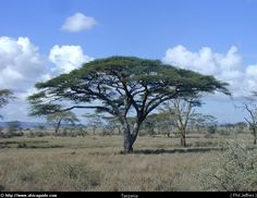 Acacia trees on the African grass lands