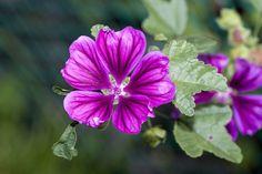 Az erdei mályva forrázata torokgyulladás ellen a leghatékonyabb öblögetőként. Egy malvin antocián nevű vegyületet, glikozidákat, cseranyagot tartalmaz. Más mályvafajokkal együtt hashajtó teakeverékek alkotóeleme is lehet. Edible Plants, Okra, Rose, Green, Flowers, Pink, Gumbo, Roses, Royal Icing Flowers