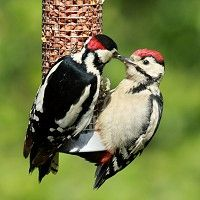 Great Spotted Woodpecker-----The Great Spotted Woodpecker is the most common woodpecker in Britain. It has a distinctive 'bouncing' flight but spends most of its time clinging to trees. Woodpeckers hammer into wood with their remarkably strong beaks to get at grubs and larvae. They also have a very long tongue to reach inside holes.Sometimes the great spotted woodpecker will snatch young birds from their nests.
