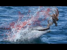 Top 10 Octopus - Octopus hunting prey