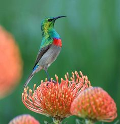 Southern double-collared sunbird perched on a Pincushion protea. BelAfrique - your personal travel planner - www.BelAfrique.com