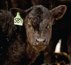 Simple steps add value to calves