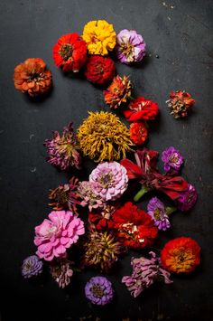 drying zinnia color