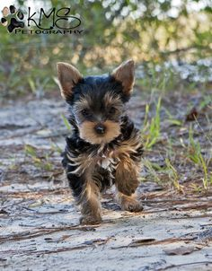 Yorkie puppy that looks like my Miss Kitty!