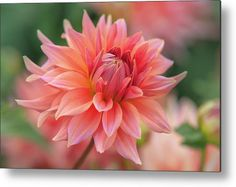 Dahlia Korallenglut Metal Print by Jenny Rainbow. All metal prints are professionally printed, packaged, and shipped within 3 - 4 business days and delivered ready-to-hang on your wall. Choose from multiple sizes and mounting options. Aluminium Sheet, All Wall, Got Print, Any Images, Art Techniques, How To Be Outgoing, Dahlia, Fine Art Photography, Fine Art America