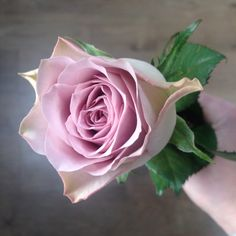 Memory Lane Rose - the dusky pink wedding flower! Taken by Laura Drury