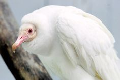 An albino Black Vulture