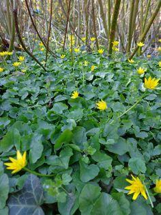 Lesser celandine (Ranunculus ficaria) near our house - S. v. Soest