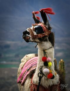 "Llama by Mike Gabelmann on Flickr. ""This llama was posing for photos near the Colca Canyon in Peru."""