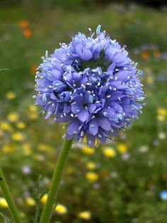 Gilia capitata. Globe gilia or bluehead gilia is native to western North America. The epithet capitata refers to tightly-clustered flowers forming at the apex of a stem.