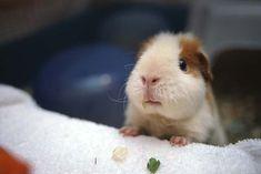 Baby Guinea Pig ♥