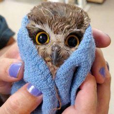 Baby owl after a bath.