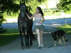 Friesian/Arab Sport horse for sale!