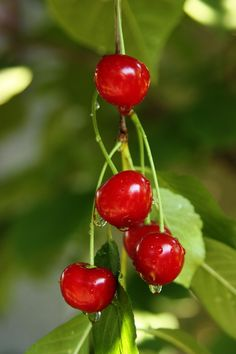 Sour_cherries1.jpg 1,200×1,800 pixels