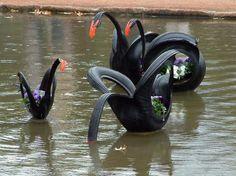 Family of black swans.