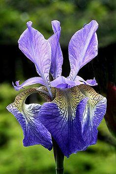 Iris - Flickr - Photo Sharing!