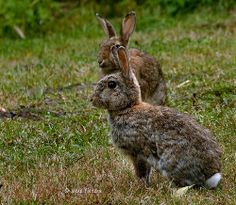 Rabbits - Konijnen
