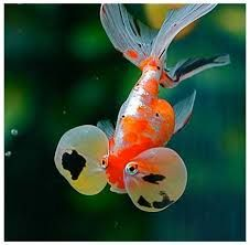 Goldfish are the most popular aquarium fish worldwide. There are actually numerous varieties of goldfish—over They range from common varieties to fancy types. Whether they are common or fancy, all goldfish are great aquarium fish. Bubble Eye Goldfish, Goldfish Types, Goldfish Care, Colorful Fish, Tropical Fish, Fantail Goldfish, Golden Fish, Pet Fish, Water Animals