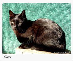 Fecha de Nacimiento: 09/2006 Raza: Común europeo Sexo: Macho Pelo: Corto Capa: Negro Fecha de entrada: 15/12/2006 Carácter: Se deja acariciar y cepillar aunque es un pelín tímido, pero busca cariño. Se siente cohibido por los demás gatos.  http://www.proaweb.org/animal_175_UCERO.html  Todos nuestros gatos se entregan vacunados, desparasitados, esterilizados, con chip y con contrato de adopción. SOLO en MADRID.  Contacto: adopciones@proaweb.org