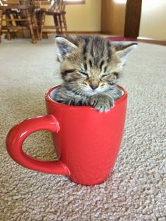 Adorable Teacup Cat