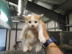 Adopt A Cat - Domestic Short Hair   Panama City, FL - Butter Pecan   AllPaws