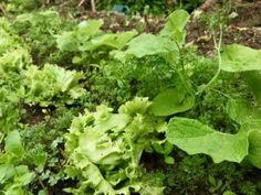 Organic Burdock Root and Organic IceBerg Lettuce are Thriving. Snails, Okinawa, Lettuce, Bugs, Harvest, Teeth, Weird, Veggies, Herbs