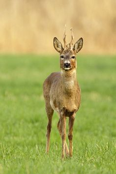 Stare (Roe deer stag) by AlesGola on DeviantArt Pet Costumes, Mascot Costumes, Beautiful Creatures, Animals Beautiful, Roe Deer, Albino, Cattle, Animal Photography, Kangaroo