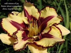 A daylily blog about daylilies, day lily and daylily photography.