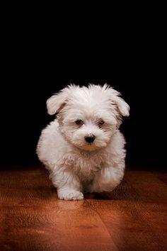 Havanese pup!  I live Hesse little dogs