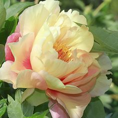 Canary Brilliants - intersectional peony - strong stems, no staking needed Peony Flower, Cactus Flower, Flower Art, Peony Bush, Tree Peony, Exotic Flowers, Amazing Flowers, Beautiful Flowers, Purple Flowers