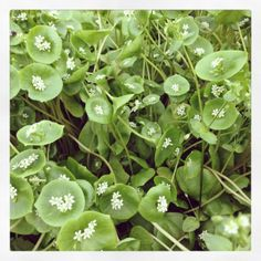 claytonia spring edible flowers - sweet and crunchy for garnishes