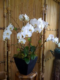 I love white orchids in large black terra cotta container for table. Orchid Arrangements, Elegant Flowers, White Orchids, Exotic Plants, Frozen Party, Indoor Plants, Flower Art, Greenery, Wedding Flowers