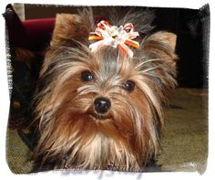 I just love yorkies! What A Beauty........