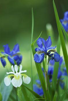 Japanese iris - loves watery ground to grow in Iris Flowers, Exotic Flowers, Planting Flowers, Beautiful Flowers, Exotic Plants, Japanese Iris, Japan Garden, Flower Photos, Dream Garden